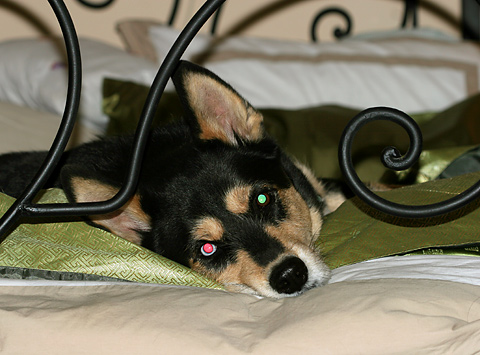 Khumba, a husky with one blue eye and red-green eye shine