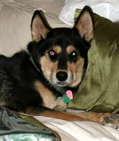 Khumba, a husky with one blue eye and red-green eye shine