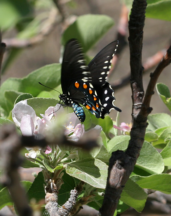 Pipevine Swallowtail (Battus philenor) butterfly on Apple (Malus domestica) flowers