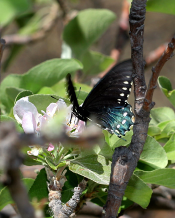 Pipevine Swallowtail (Battus philenor) butterfly on Apple (Malus domestica) flowers