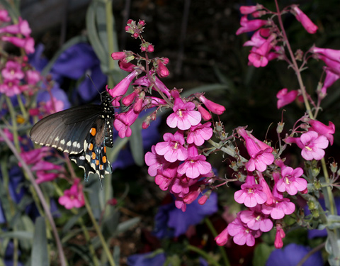 Pipevine Swallowtail (Battus philenor) butterfly on Parry's Beardtongue or Parry's Penstemon (Penstemon parryi) flowers