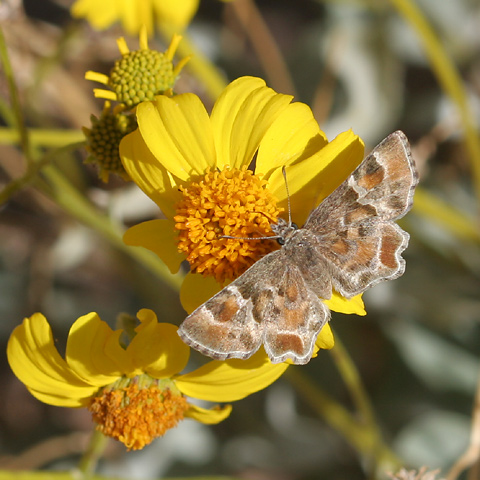 Arizona Powdered Skipper (Systasea zampa) on a Goldenhills or Brittlebush (Encelia farinosa) flower
