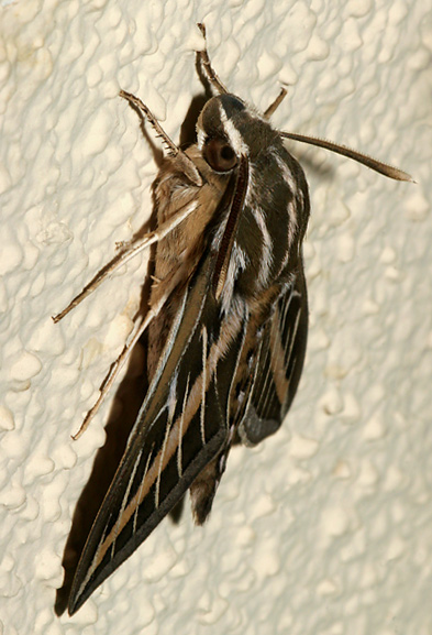 White-lined Sphinx (Hyles lineata) moth