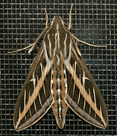 White-lined Sphinx (Hyles lineata) moth resting near an outside light