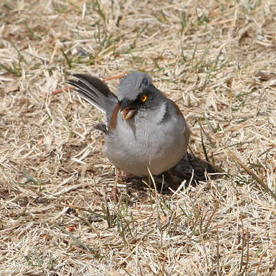 Yellow-eyed Junco (Junco phaeonotus)