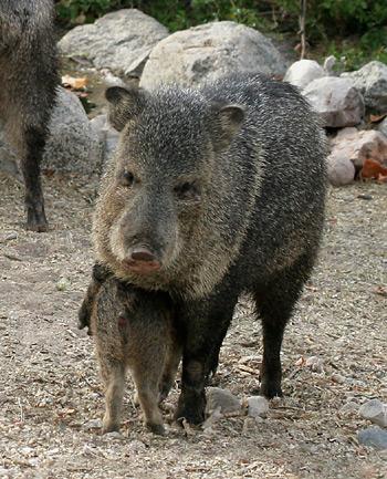 Baby and adult Javelina or Collared Peccary (Pecari tajacu)