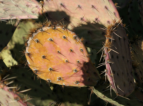 Pink and yellow drought-stressed Pricklypear (Opuntia sp.)