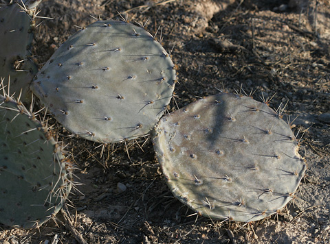 Gray drought-stressed Pricklypear (Opuntia sp.)