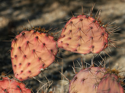 Orange drought-stressed Cactus Apple or Engelmann's Pricklypear (Opuntia engelmannii)