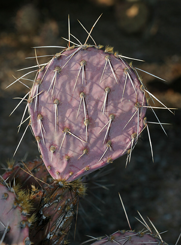 Purple drought-stressed Pricklypear (Opuntia sp.)