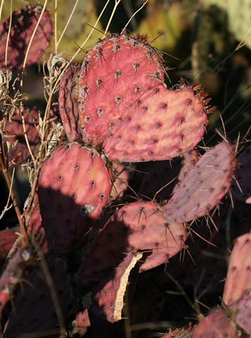 Red drought-stressed Pricklypear (Opuntia sp.)