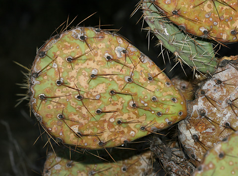Drought-stressed Cactus Apple or Engelmann's Pricklypear (Opuntia engelmannii) infected with a cactus virus