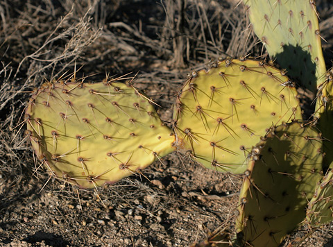 Yellow drought-stressed Cactus Apple or Engelmann's Pricklypear (Opuntia engelmannii)