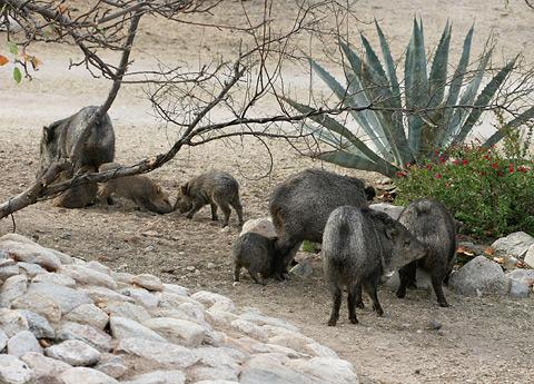 Herd of Javelinas or Collared Peccaries (Pecari tajacu)