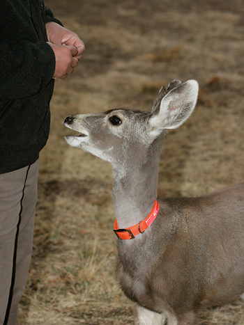 Molly the Mule Deer (Odocoileus hemionus) at the Southwestern Research Station in the Chiricahua Mountains near Portal, Arizona
