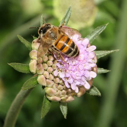 Honeybee (Apis mellifera) on a Dove Pincushion (Scabiosa columbaria) flower bud