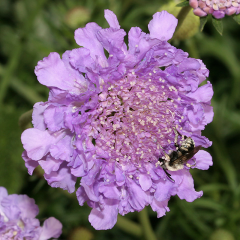 Bee (Superfamily Apoidea) on a Dove Pincushion (Scabiosa columbaria) flower