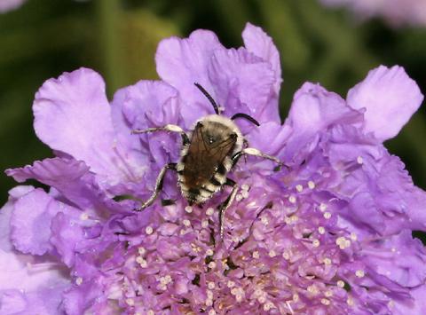 Bee (Superfamily Apoidea) on a Dove Pincushion (Scabiosa columbaria) flower