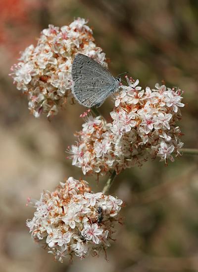 Spring Azure (Celastrina ladon) butterfly