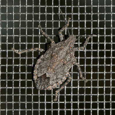 Stink Bug (Family Pentatomidae)