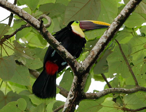 Chestnut-mandibled Toucan (Ramphastos swainsonii) in Costa Rica