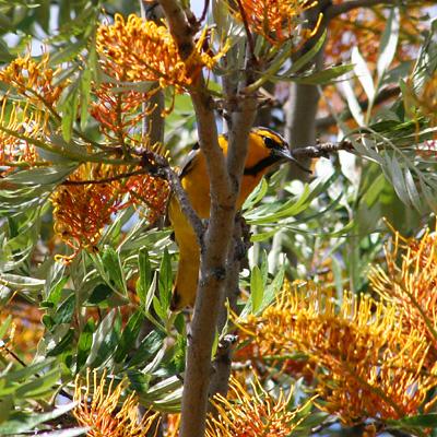 Bullock's Oriole (Icterus bullockii) in a Silk Oak or Silkoak (Grevillea robusta)