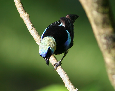 Male Golden-hooded Tanager or Tangara Capuchidorada (Tangara larvata)