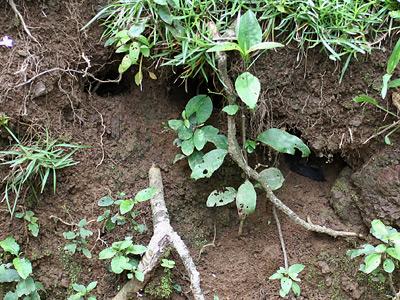 Halloween Crab (Gecarcinus quadratus) burrows near the coast in Costa Rica