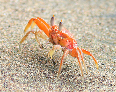 Ghost Crab (Ocypode sp.) on the Pacific coast of Costa Rica