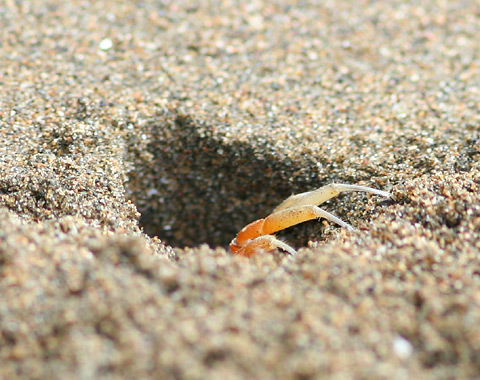 Ghost Crab (Ocypode sp.) hole on the Pacific coast of Costa Rica