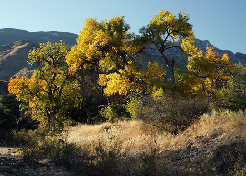 Velvet Ash (Fraxinus velutina) fall foliage