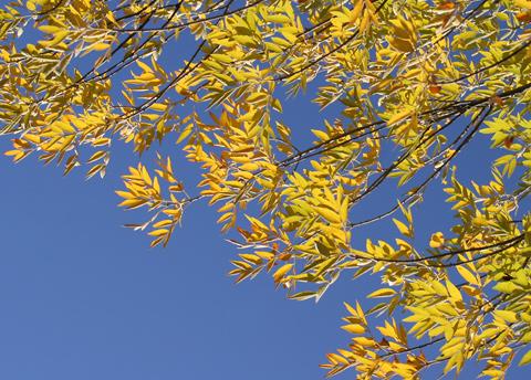 Velvet Ash (Fraxinus velutina) autumn leaves
