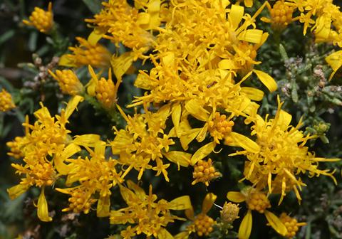 Turpentine Bush (Ericameria laricifolia) flowers