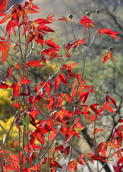 Autumn leaf colors of Thurber's Cotton (Gossypium thurberi)