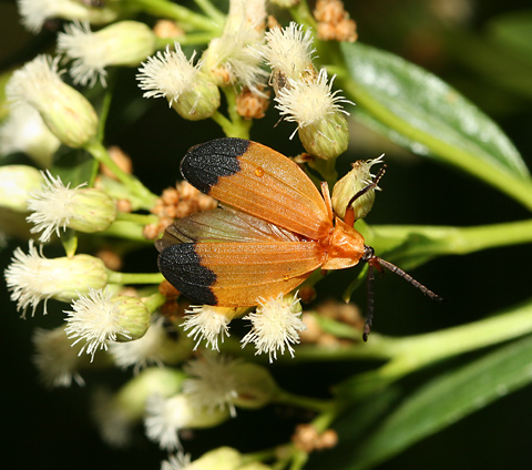 Net-winged Beetle (Lycus fernandezi) on Mule's Fat (Baccharis salicifolia) flowers