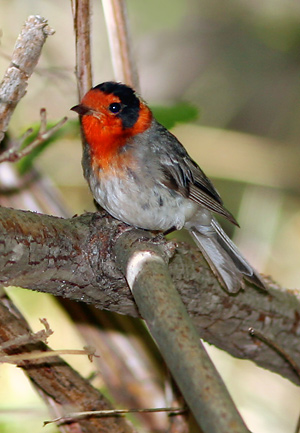 Red-faced Warbler (Cardellina rubrifrons)