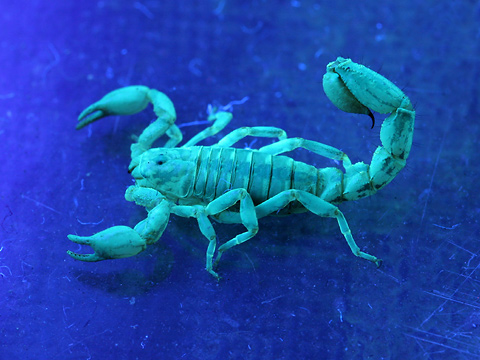 Fluorescent scorpion (Superstitionia donensis) in long-wave ultraviolet light