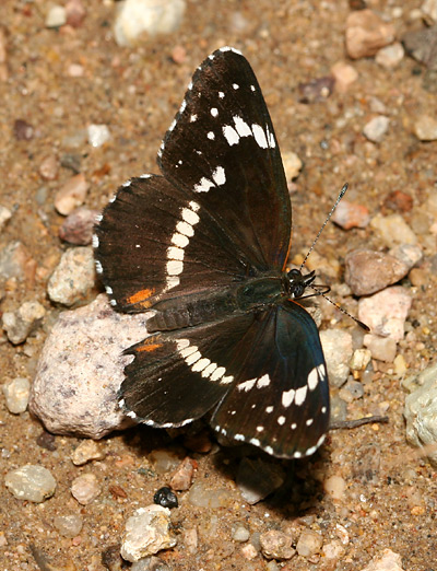 Bordered Patch (Chlosyne lacinia) butterfly