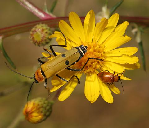 Soldier Beetle (Chauliognathus sp.)