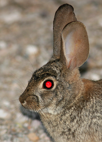 Desert Cottontail (Sylvilagus audubonii) with red-eye