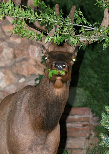 Elk (Cervus elaphus) with glowing eye shine