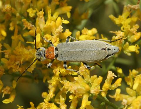 Blister beetle (Epicauta sp.)