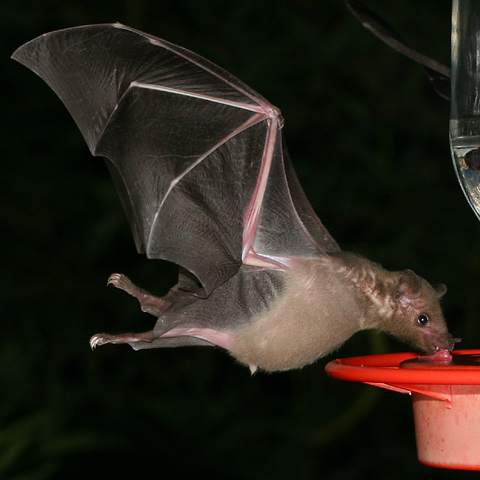 Tucsons Hummingbird Feeder Bats The Firefly Forest