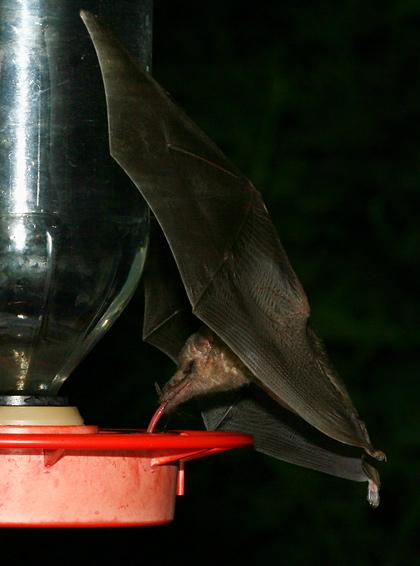 Mexican Long-tongued Bat (Choeronycteris mexicana)