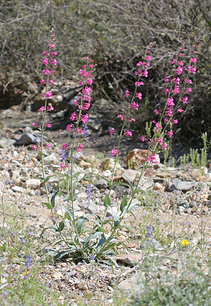 Parry's Beardtongue (Penstemon parryi)