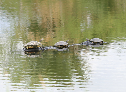 Pond Sliders (Trachemys scripta)