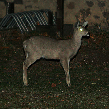 White-tailed Deer (Odocoileus virginianus) with glowing eye shine