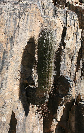Saguaro (Carnegiea gigantea) growing out of a cliff