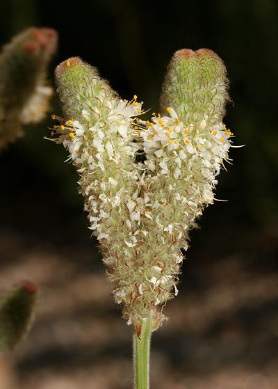 Deformed Whiteflower Prairie Clover Dalea Albiflora