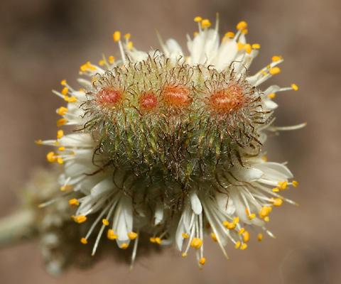 Deformed Whiteflower Prairie Clover (Dalea albiflora) flower spikes